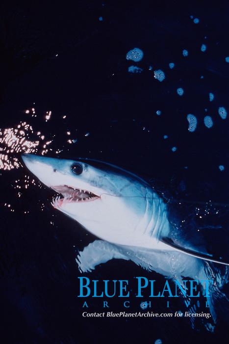 shortfin mako shark, Isurus oxyrinchus, hooked on wire line during sport fishing, Redondo Beach, California, USA, Pacific Ocean