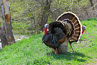 Male Wild Turkeys (Meleagris gallopavo) strutting--spring mating display.  John Day River area, Oregon.  April.