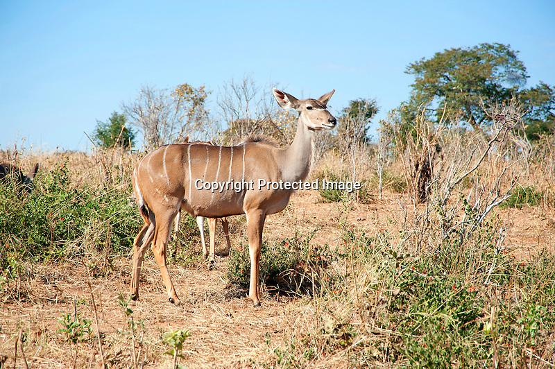 Kudu Browsing in the Bush in Chobe National Park in Botswana in Africa