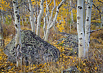 Idaho, South Central, White Knob Mountains. Aspen and boulders in autumn.