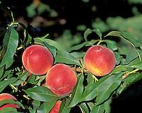 Peaches {Flavorcrest} on tree. WA.