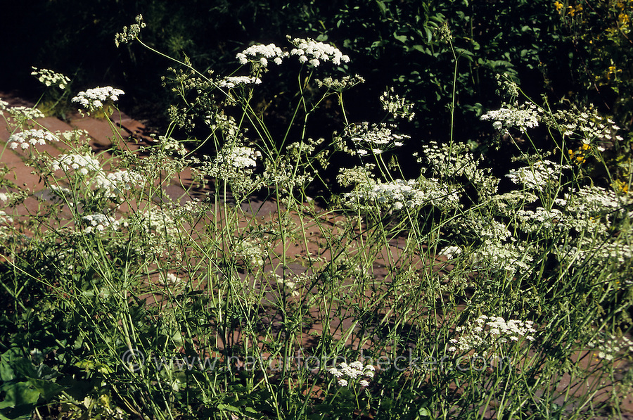 Kleine Bibernelle, Pimpinelle, Pimpinella saxifraga, Lesser Burnet Saxifrage
