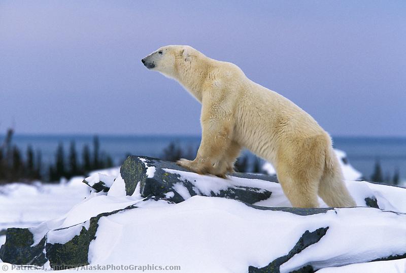 Male Polar bear walks along the Canadian Shield rock along the Hudson bay in Churchill, Manitoba, CANADA
