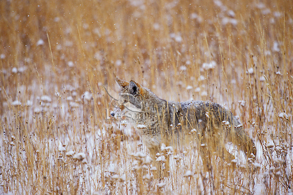 Coyote (Canis latrans).  Western U.S., late fall.