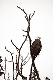 USA, Alaska, bald eagle perching on bare tree branch, Redoubt Bay (B&W)