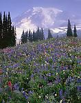 Mount Rainier National Park, WA<br /> Mount Rainier in morning sun towers over a meadow of alpine wildflowers on Mazama Ridge