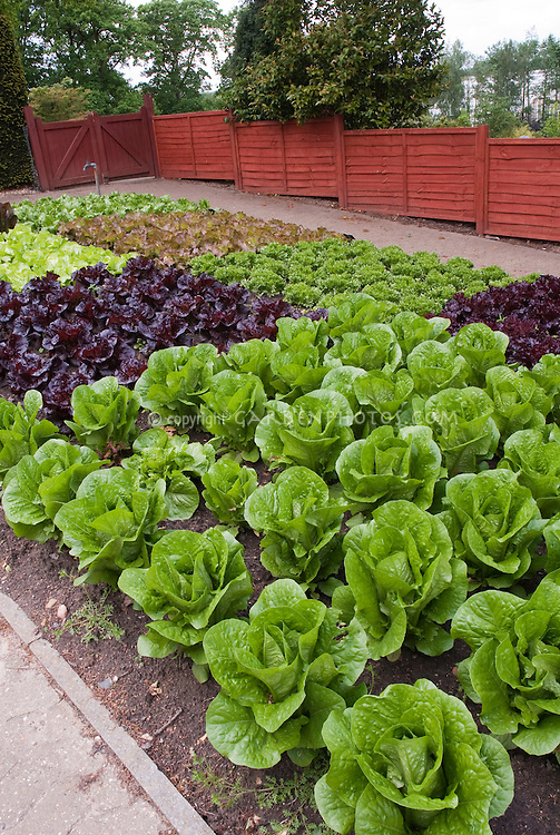 Red lettuce, green lettuces, heads of lettuce in fenced vegetable garden, in rows growing, wide view of many salad plants, with red fence, garden spigot hosepipe