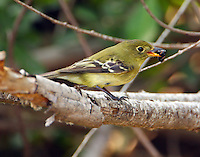 Adult yellow-bellied flycatcher with ant