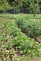 Beans, tomatoes, beets, fruit, pumpkins growing in vegetable garden with deer fencing