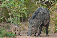 650520197 a wild baby javelina dicolytes tajacu interacts with its mother on beto gutierrez ranch hidalgo county texas united states