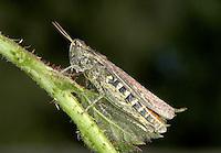 Common Field Grasshopper, Female - Chorthippus brunneus