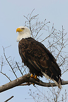 Adult Bald Eagle (Haliaeetus leucocephalus) perched. Whatcom County, Washington. March.