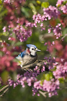 Blue Jay (Cyanocitta cristata) in redbud tree.