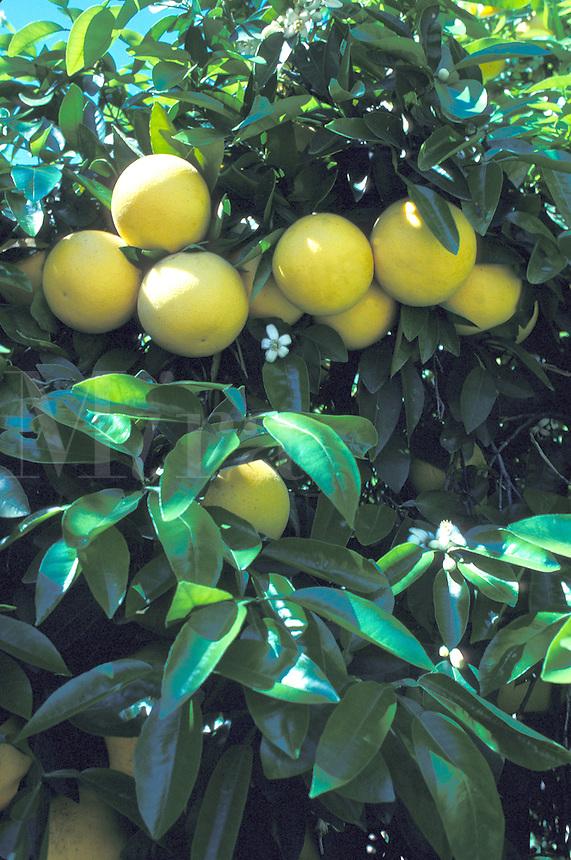 grapefruits on tree California