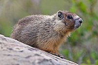 Hoary Marmot stanind on a boulder