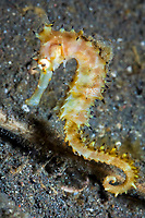 Thorny Seahorse, Hippocampus hystrix, Lembeh Strait, Sulawesi, Indonesia