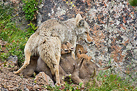 Wild Coyote (Canis latrans) nursing young pups.  Western U.S., June.
