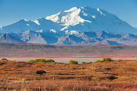 Bull moose on the autumn colored tundra with the summit of Denali in the distance, Denali National Park, Alaska.