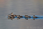 Ruddy Ducks (Oxyura jamaicensis), female with chicks, swimming, Mono Lake Basin, California, USA