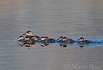 Ruddy Ducks (Oxyura jamaicensis), female with chicks, swimming, Mono Lake Basin, California, USA