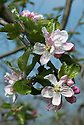 """Blossom of Apple 'Golden Pearmain' (syn. 'Clarke's Pearmain', 'Yellow Pearmain'), late April. Not yet ripe and therefore still green. """"A beautiful apple of obscure origin. 'Golden Pearmain' is believed to be one of the original apples grown in Thomas Jefferson's orchards in Monticello. The medium-sized, somewhat conical fruit has an attractive golden-orange skin, marbled and striped with red and bronze. The fine-grained, yellow flesh is firm, crisp and juicy. Ripens in October and is a fair keeper."""" http://www.bighorsecreekfarm.com/descriptions2.htm"""