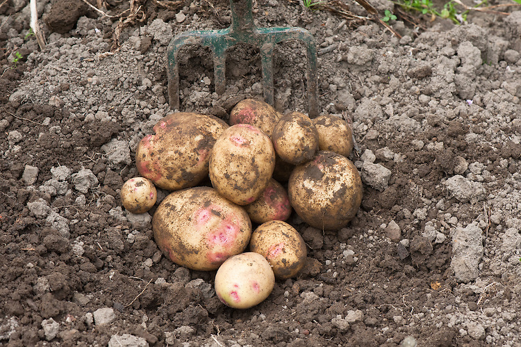 Potato 'Picasso', late July.