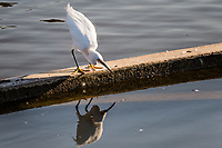 An egret stares into the water of an urban park's lagoon as if considering its own reflection, though it is actually looking below the surface for something edible.