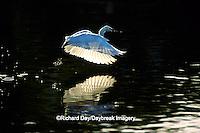 00696-00411 Snowy Egret (Egretta thula) foot dragging /feeding behaviour   Everglades National Park, FL