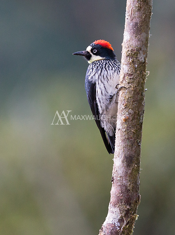 The Acorn woodpecker is often seen in the central highlands.