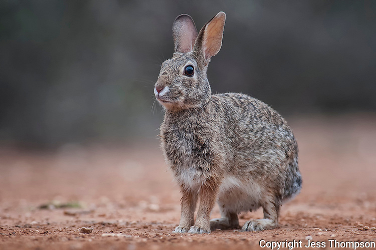 Cottontail Rabbit, South Texas