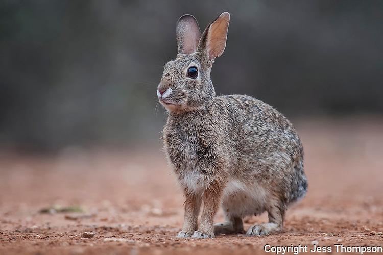 Cottontail Rabbit, South Texas