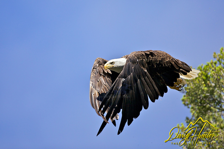 Bald Eagle, Trout Lake , Yellowstone National Park