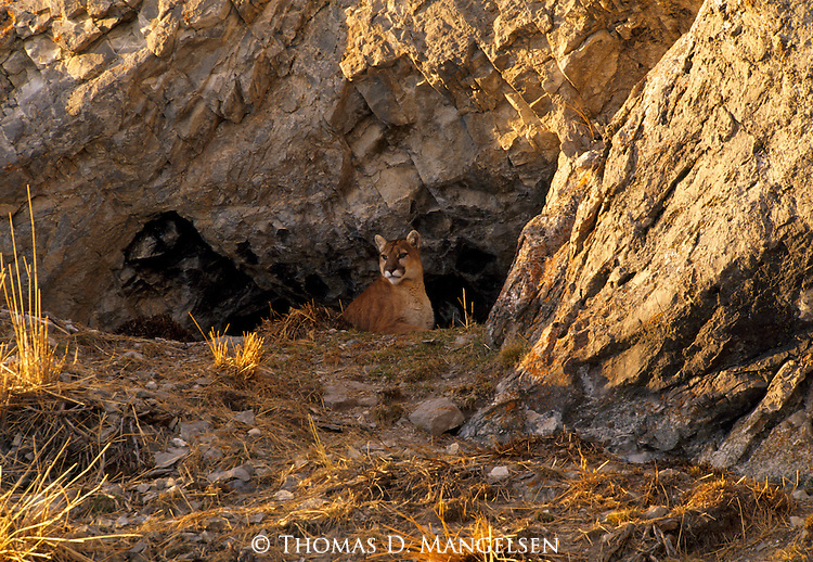 Keeping a watchful eye against the blaze of the setting sun, a female mountain lion sizes up her possibilities for the night's hunt on the National Elk Refuge in Jackson Hole, Wyoming.