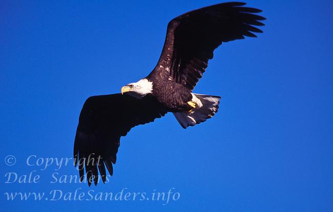 Bald Eagle ( Haliaeetus leucocephalus ) in flight, British Columbia, Canada.