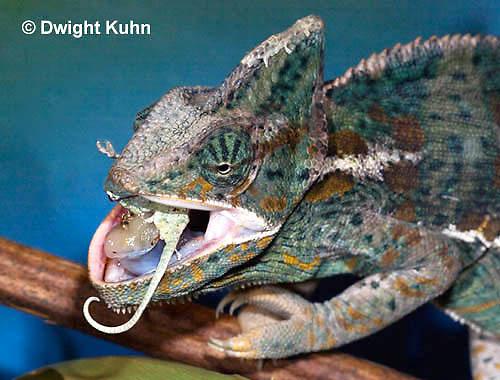 CH49-507z  Male Veiled Chameleon eating juvenile Veiled Chameleon, Chamaeleo calyptratus