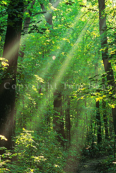 Sunbeams in misty forest, hardwood forest at Forestville State Park in the Root River Valley, Minnesota, AGPix_0673.
