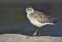 Adult non-breeding<br /> Ventura Co., CA<br /> December 2001 Grey Plover - Pluvialis squatarola - Adult moulting into full Summer Plumage. L 28cm. Plump-bodied coastal wader. Best known in winter plumage but breeding plumage sometimes seen in newly-arrived, or shortly-to-depart, migrants. In flight, note black &lsquo;armpits&rsquo; on otherwise white underwings. Typically solitary. Sexes are similar. Adult in winter looks overall grey but upperparts are spangled with black and white and underparts are whitish. Legs and bill are dark. In summer plumage, has striking black underparts (sometimes rather mottled in females) separated from spangled grey upperparts by broad white band. Juvenile resembles winter adult but has buff wash to plumage. Voice Utters diagnostic, trisyllabic pee-oo-ee call, like a human wolf-whistle. Status Nests in high Arctic; coastal, non-breeding visitor to Britain and Ireland
