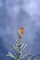 Northern Cardinal, female, Lumberton, New Jersey