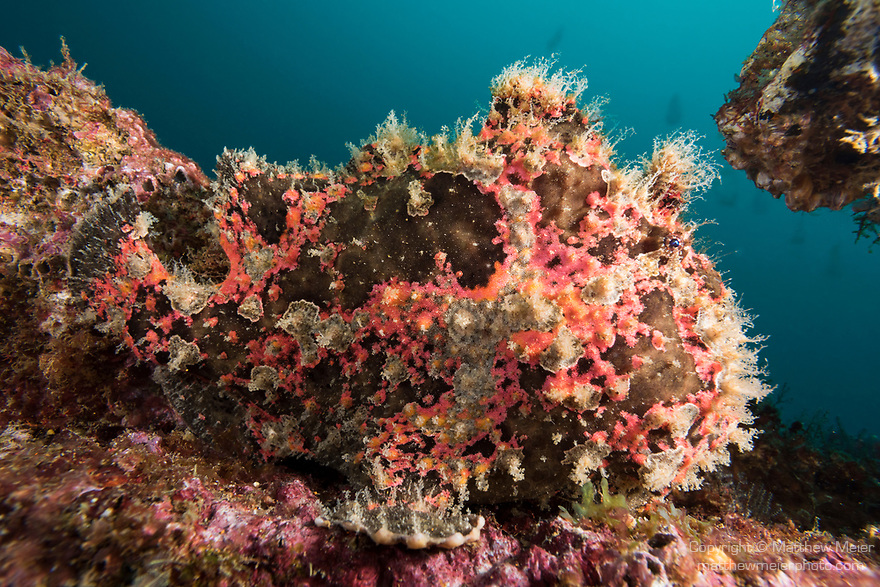 Puerto Galera, Oriental Mindoro, Philippines; a mottled brown and pink giant frogfish camouflaged against the growth on a ship wreck