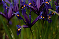Dark purple spring  irises (iris reticulata) blooming in February in Cambridgeshire.