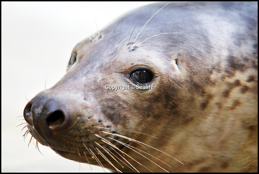BNPS.co.uk (01202 558833)<br /> Pic: Sealife/BNPS<br /> <br /> ***Please Use Full Byline***<br /> <br /> Ludo the seal. <br /> <br /> A lost seal pup who travelled 1,000 miles to Portugal has been flown back to the UK.<br /> <br /> The cute creature, called Ludo, is thought to have started his journey near Gweek in Cornwall but taken the wrong route down the Gulf Stream .<br /> <br /> In January this year he was discovered on a beach near Sagres and rescued by staff from the Zoomarine centre in Albuferia.<br /> <br /> After seven months he was deemed fit enough to return to the UK and he was flown for free from Faro to Heathrow.<br /> <br /> Ludo is living in nursery pools at the Cornish Seal Sanctuary and in around two to three weeks he will be released back into the wild.<br /> <br /> He will be fitted with an identification tag before he is set free so that staff can keep an eye on him.