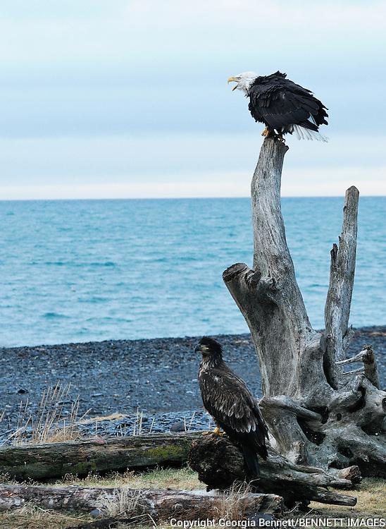 Eagles roost on a stump onthe beach at Homer spit, Alaska.