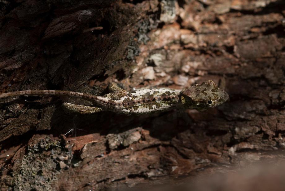 Kameleon (Brookesia nasus)