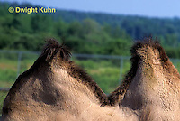 MA37-001a  Bactrian Camel - close-up of humps - Camelus bactrianus
