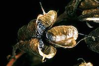 Blauer Eisenhut, Wolfshut, Frucht mit Samen, Aconitum napellus, Friar´s Cap, Garden Monkshood