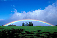 Rainbow with clump of Cook pine trees in Kula, Maui.