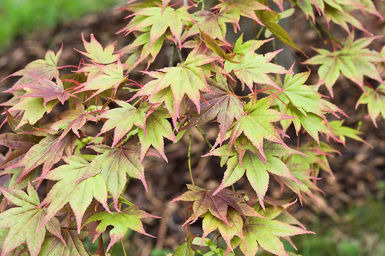 Early autumn foliage of Japanese maple (Acer palmatum), mid September.