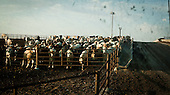 """Mead, Kansas, USA, August 2011:.Cattle waiting for corn feed early morning at the feedyard.  Millions of cows are gaining weight in feedyards across the region, where four huge meatpacking plants of National Beef, Cargill and Tyson slaughter and process about 20 thousand cattle a day. Kansas dominates American beef industry, by producing one quarter of all beef in the USA..(Photo by Piotr Malecki / Napo Images)..Mead, Kansas, Stany Zjednoczone, Sierpien 2011:.Bydlo czeka na kukurydziana pasze w jednej z tuczarni zwanych """"feedyards"""". W tym rejonie jest mnostwo takich tuczarni, by zaopatrywac cztery wielkie zaklady miesne nalezace do firm National Beef, Cargill i Tyson. Zaklady te przerabiaja razem okolo 20 tysiace sztuk bydla dziennie.  Stan Kansas zdominowal rynek wolowiny w Stanach Zjednoczonych, produkujac jedna czwarta calej amerykanskiej wolowiny. Amerykanski przemysl miesny jest bardzo uzalezniony od taniej sily roboczej, ktora daja emigranci..Fot: Piotr Malecki / Napo Images."""