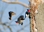 Red-headed Woodpeckers (Melanerpes erythrocephalus), aggressive behavior toward European Starling (Sturnus vulgaris) which was trying to take over the woodpecker pair's nest cavity nearby,  Montezuma Wildlife Refuge, New York, USA