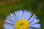 A close up of the Showy Daisy wildflower petals and center